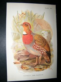 Allen 1890's Antique Bird Print. Mandelli's Tree Partridge. Keulemans
